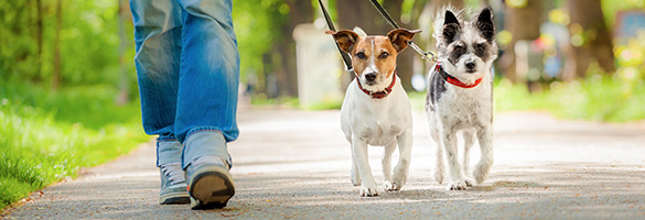 Person walking two small dogs.